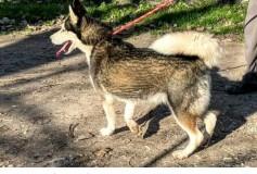 AISHA , bellissima husky tra i cani sequetrati cerca casa