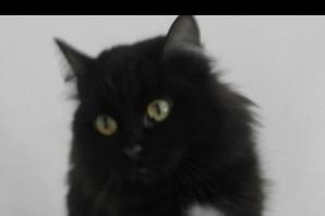Swiffer, gatta pelo lungo nero