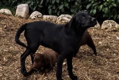 Aura incrocio labrador cane da caccia