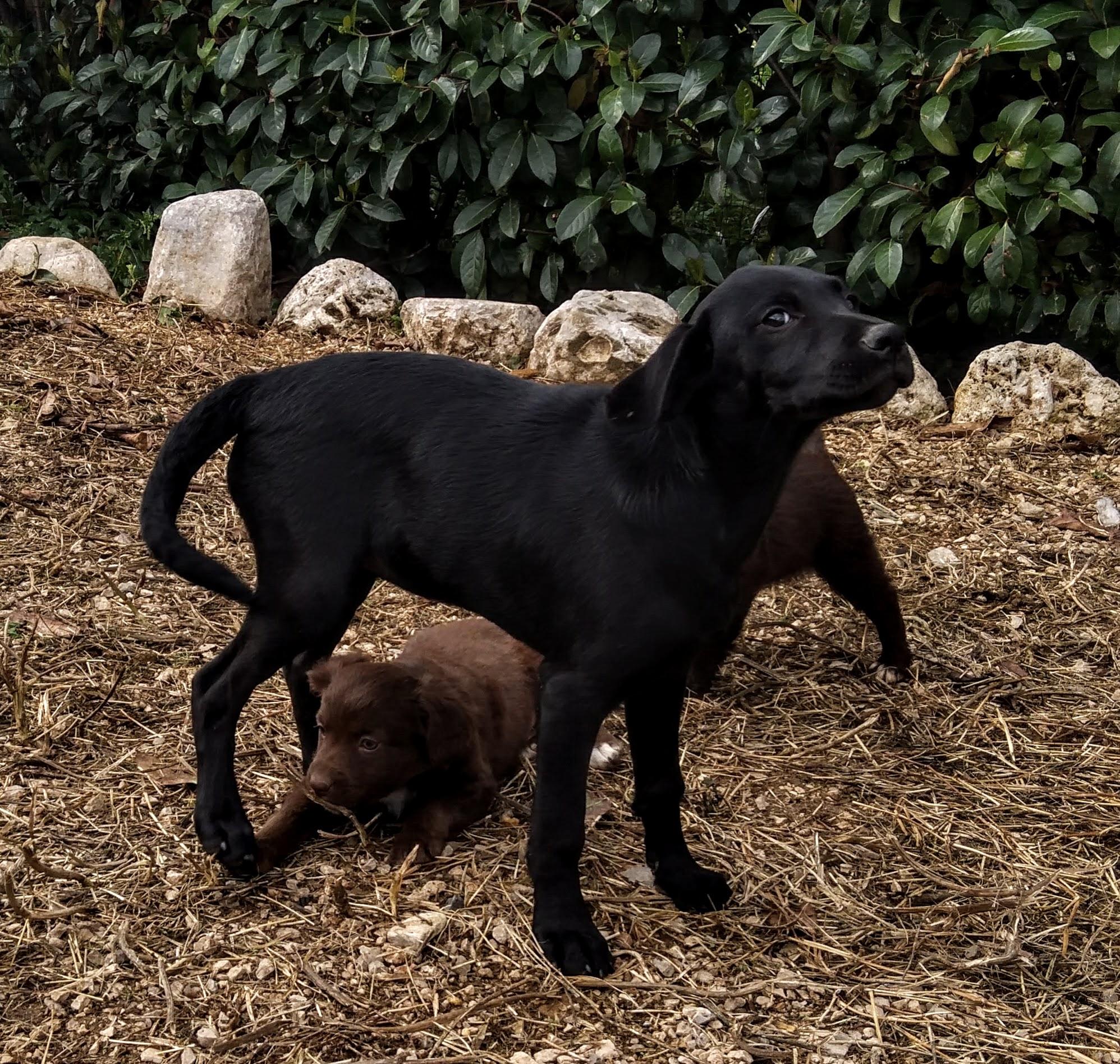 Aura Incrocio Labrador Cane Da Caccia Associazione Scodinzolo Onlus