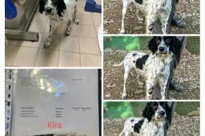 KIRA setter inglese tra i cani sequestrati ha trovato casa!