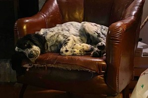 KYRA, bellissima setterina tra i cani sequestrati, é stata adottata!!