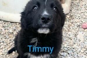 TIMMY, 50 giorni, figlio di maremmano, in CERCA DI CASA❤️